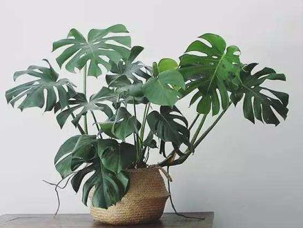 上海别墅装修好后室内放什么植物比较好